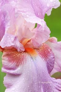 Bearded Iris Persian Berry