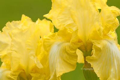 Bearded Iris Soft Moonbeam