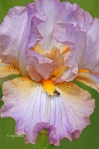 Tall Bearded Iris Lace Jabot