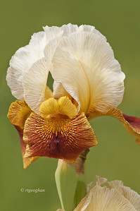 Bearded Iris Rare Breed