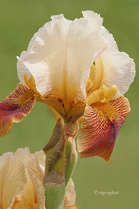 Bearded Iris Rare Breed