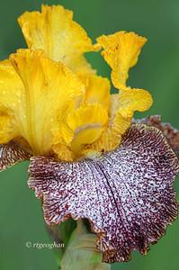 Bearded Iris Temporal Anomaly