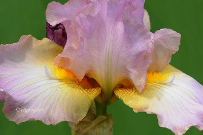 Bearded Iris Montclair Remembers