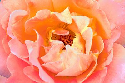 Westerland Rose Portrait