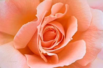 Peach Rose Unfurling