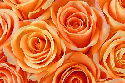 Peach Rose Perfection