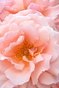 Peach Roses Portrait