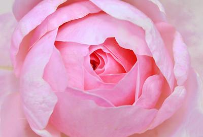 Quietness Pink Rose