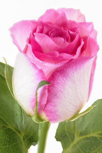 Rose Portrait - Pink and White
