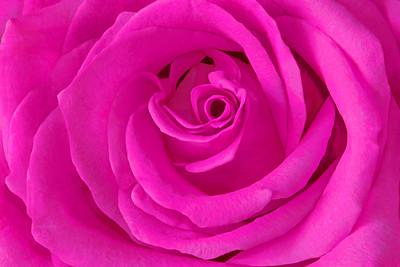 Lushishly Pink Rose