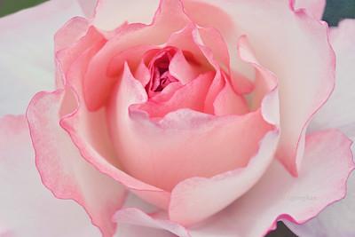Rose Portrait - Glenda Marie