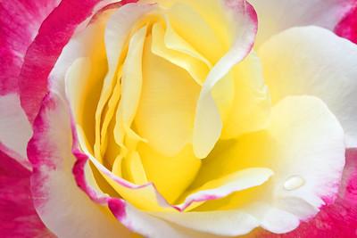Rose Portrait-Double Delight