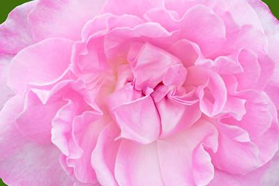 Rose-Sweet Surrender