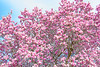 Blooming Saucer Magnolia Tree