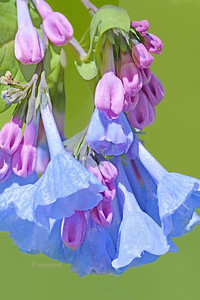 Virginia Blue Bell Flower