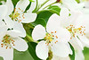 White Crabapple Blossoms