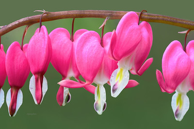 Bleeding Heart Flowers