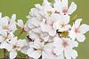 White Yoshino Cherry Blossom Cluster