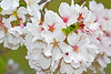 White Cherry Blossoms