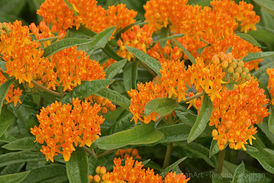 Flowering Butterfly Milkweed