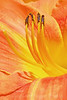 Daylily in Orange and Yellow