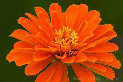 Orange Zinnia Blossom