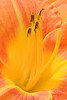 Day LIly Sunshine