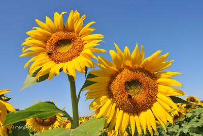 Sunflowers NJ 2011