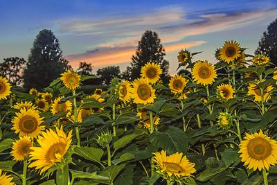 Sunflower Sundown Scene