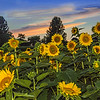 Sunflower Sundown Scene