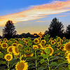 Sunflower Field Sundown