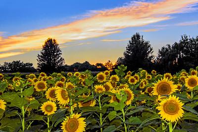 Sunflower Field Sundown
