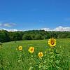 Sunflower Field -USA Flag