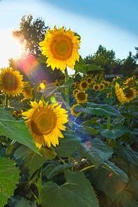Rainbow Sunbeam on Sunflowers