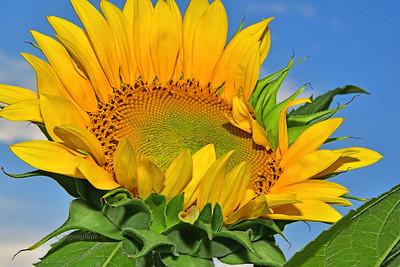 Unfurling Sunflower