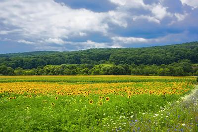 NJ Sunflower Landscape