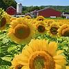 Sunflowers and Farm