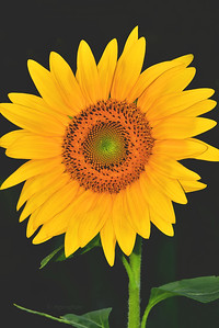 Sunflower and Shade