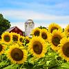Sunflowers and Barn