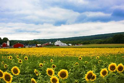Sunflowr Field and Farm