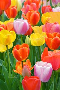 Garden Tulip Array