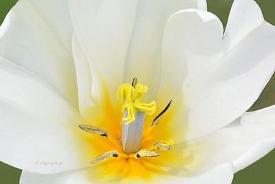 White Tulip Portrait