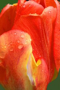 Orange and Yelllow Tulip Portrait