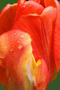 Orange and Yelllow Tulip Portrait