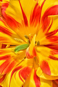 Monsella Tulip Portrait