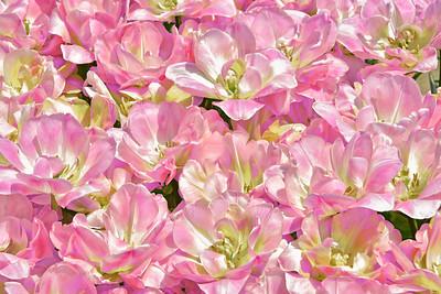Happy Upstar Tulips