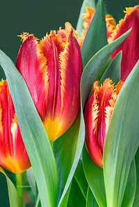 Red Fringed Tulips