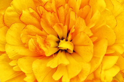 Sun Power Tulip in Yellow