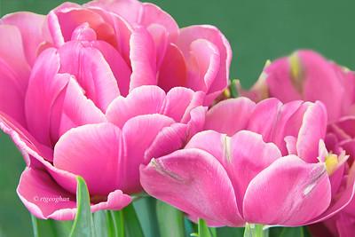 Rose Pink Tulips