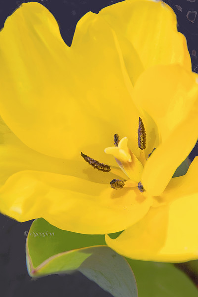 Yellow Tulip Portrait